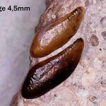 Zähne eines pycnodontiformen Fisches
