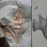 Zeichnung aus Reuss: Die Versteinerungen der böhmischen Kreideformation