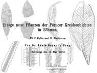 Bayer, 1900. Einige neue Pflanzen der Perucer Kreideschichten in Böhmen