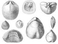 Brachiopoden (Armfüßer)