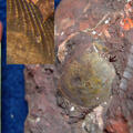 Chlamys (Camptonectes) virgatus
