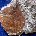 Chlamys elongatus
