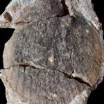 große Pectinide aus dem Klippensandstein