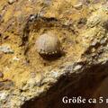 Codiopsis doma