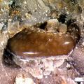 Coelodus sp.