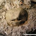 Ancistrocrania gracilis