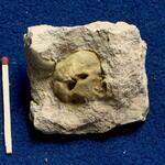 schloßlose Brachiopode