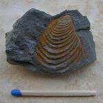 Leitfossil für die Basis des Coniac