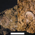 Epibionten auf paläozoischem Diabas