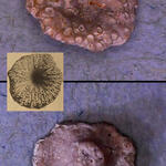 cyclostome Bryozoe