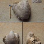 Auster in Schalenerhaltung mit Bohrspuren