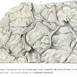 Abbildung aus Geinitz, 1871-75; Taf 38., Fig. 8.