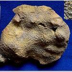 Das Material dieser Fundstelle wurde bisher zu <i>Glenarea</i> gestellt. (Löser & Sklenář, 2015)
