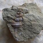 Exemplar mit gut erhaltener Schalenstruktur