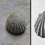 "Abb. aus Geinitz, 1872, S. 204, Taf. 43, Fig. 6 - nach Dhondt, 1989 fällt ""<i>Lima plauensis</i>"" in die Synonymie von <i>P. granulata</i> (s.a. Niebuhr et al., 2014)"
