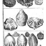 Ostraciten, Hahnekamm-Muscheln