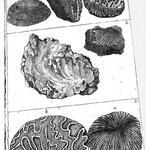 Tubuliten, Ceratophyten, Fungiten