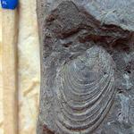 am Fundort wurde ebenfalls Cremnoceramus rotundatus (unt. Coniac) gefunden;