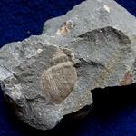 In den Fossillisten dieser Lokalität wird <i>Natica lamellosa</i> genannt, möglicherweise handelt es sich aber um <i>Natica</i> cf. <i>vulgaris</i> Reuss (siehe Deninger 1905)