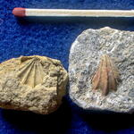 Steinkerne der linken und rechten Schale