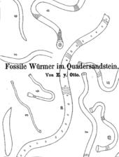 E. Otto über vermeintliche Würmer im Cenoman bei Karsdorf (Rabenau)