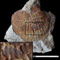 inkrustierende Bryozoen auf pektinider Muschel