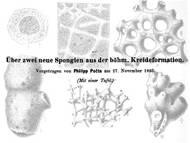 Ph. Pocta: Zwei neue Schwammarten aus Böhmen