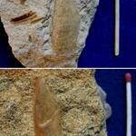 zwei linke Schalen dieser im Pennricher Sandstein weitverbreiteten Muschel