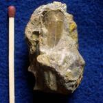 Exemplar einer rechten Klappe mit teilweise abgeplatzter Außenschale, deutlich sichtbar ist die Ligamentalfurche