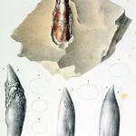 Zähne bzw. deren Ausgüsse (Plesiosaurier)