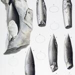 Zähne bzw. deren Ausgüsse von (Plesiosaurier)
