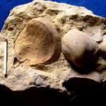 rechte und linke Schale, Steinkerne