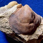 älteres Synonym: <i>Exogyra columba</i>, linke Schale