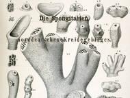 F.A. Roemer: Norddeutsche Kreideschwämme