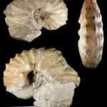 (älteres Synonym: <i>Mammites binicostatum</i>) Bildbreite: etwa 15cm