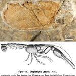 Teil des Cephalothorax