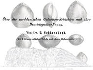 U. Schlönbach: Geologie & Paläontologie der Brachiopoden in der Galeriten-Fazies (Wüllen-Formation)