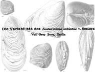 Variabilität von Inoceramus labiatus Schlotheim, 1813