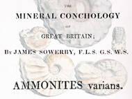 J. Sowerby, 1817: Erstbeschreibung von A. varians