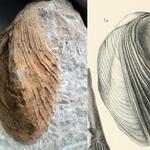 """stratigraphische Einordnung nicht gesichert; Abbildung von """"<i>Cardium Neptuni</i>"""""""