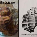 """Vermutlich ein Erstfund in diesem Aufschluß; häufig in großen Exemplaren im Ratssteinbruch; wurde ebenfalls an der historischen Fundstelle """"Am Forsthaus"""" gefunden"""