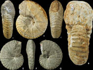 Wilmsen & Nagm, 2013: Revision der cenoman-turonen Ammonitenfauna von Sachsen