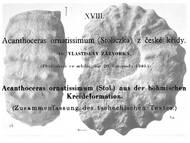 V. Zázvorka über einen Acanthoceraten aus Roudnice